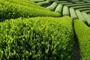 green-tea-field