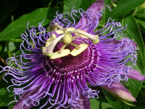 passionflower-111