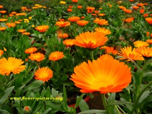calendula-flower-2