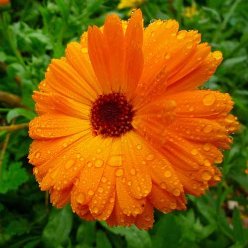 bright orange medicine flower calendula. Black Bedroom Furniture Sets. Home Design Ideas